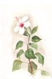 белизна акварели картины hibiscus цветка Стоковое Изображение RF