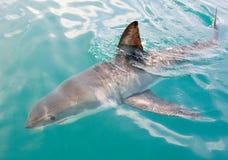 белизна акулы Стоковые Фото