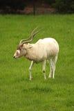 белизна антилопы addax Стоковые Изображения
