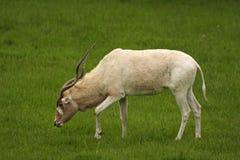 белизна антилопы addax Стоковая Фотография