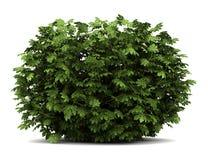белизна аралии изолированная bush японская стоковая фотография rf
