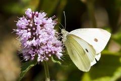 белизна бабочки большая Стоковая Фотография RF