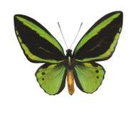 белизна бабочки изолированная зеленым цветом Стоковые Фотографии RF