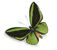 белизна бабочки изолированная зеленым цветом Стоковое Фото