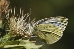 белизна бабочки малая Стоковое фото RF