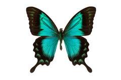 белизна бабочки Стоковые Изображения