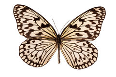 белизна бабочки Стоковая Фотография