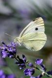 белизна бабочки Стоковое Изображение