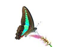 белизна бабочки bluebottle ba изолированная общим Стоковое Изображение RF