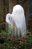 белизна близкого egret большая поднимающая вверх Стоковая Фотография RF