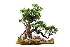 белизна бонзаев вечнозеленая стоковая фотография rf