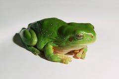 белизна вала зеленого цвета лягушки предпосылки Стоковая Фотография RF