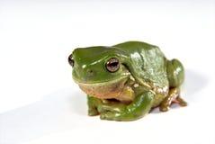 белизна вала зеленого цвета лягушки предпосылки Стоковые Фотографии RF