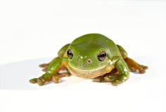 белизна вала зеленого цвета лягушки предпосылки Стоковое Фото