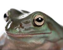 белизна вала зеленого цвета фронта лягушки предпосылки Стоковые Фото