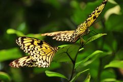 белизна вала нимфы бабочек Стоковое фото RF