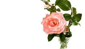 белизна Валентайн пинка розовая Стоковое фото RF