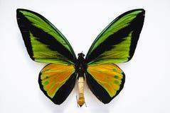 белизна вектора иллюстрации бабочки предпосылки Стоковое Фото
