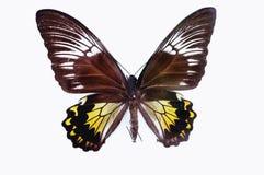 белизна вектора иллюстрации бабочки предпосылки Стоковые Фото