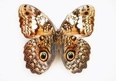 белизна вектора иллюстрации бабочки предпосылки Стоковая Фотография