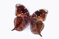 белизна вектора иллюстрации бабочки предпосылки Стоковая Фотография RF