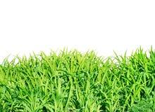 белизна вектора иллюстрации зеленого цвета травы предпосылки Стоковые Изображения