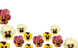 белизна весны космоса pansy цветка экземпляра граници Стоковые Фото