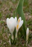 белизна весны крокуса Стоковое Фото