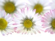белизна весны маргариток стоковая фотография rf