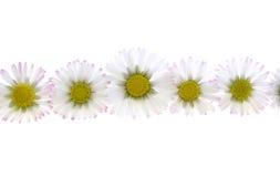 белизна весны маргариток стоковая фотография