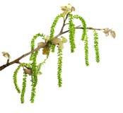 белизна весны тополя Стоковое Изображение