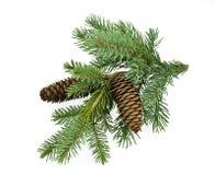 белизна ветви изолированная елью Стоковое Изображение RF