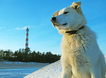 белизна взгляда маяка собаки Стоковое Изображение