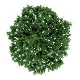 белизна взгляда сверху oakleaf bush изолированная hydrangea иллюстрация вектора