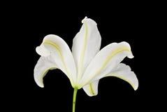 белизна вид сзади лилии предпосылки черная Стоковая Фотография