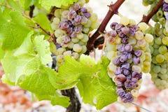 белизна виноградины стоковые фотографии rf