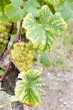 белизна виноградины Стоковые Изображения RF