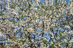 белизна вишни цветения Стоковая Фотография