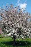 белизна вишни цветения Стоковые Изображения