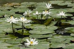 белизна воды лилии стоковое фото
