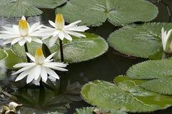 белизна воды лилии стоковое фото rf