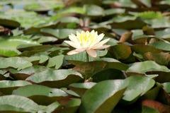 белизна воды пруда лилии стоковая фотография
