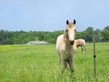 белизна выгона лошадей стоковое фото