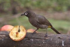 белизна глаза птицы Стоковая Фотография