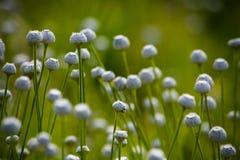 белизна головки цветков танцы Стоковые Изображения