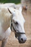 белизна головной лошади крупного плана lipizzan Стоковое Изображение