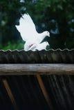 белизна голубей 2 Стоковые Изображения RF