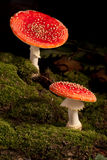 белизна гриба мухы красная Стоковые Изображения