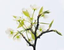 белизна груши цветения стоковая фотография rf