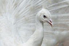 белизна добросердечного павлина птиц редкая стоковое изображение rf